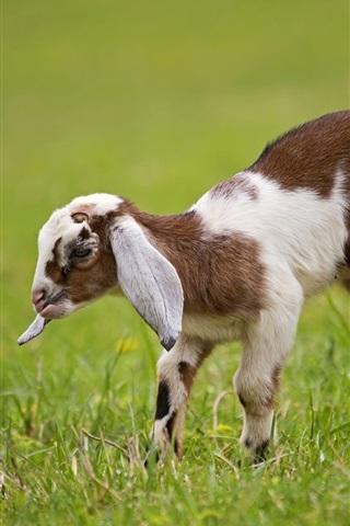 iPhone Wallpaper Goat cub, grass