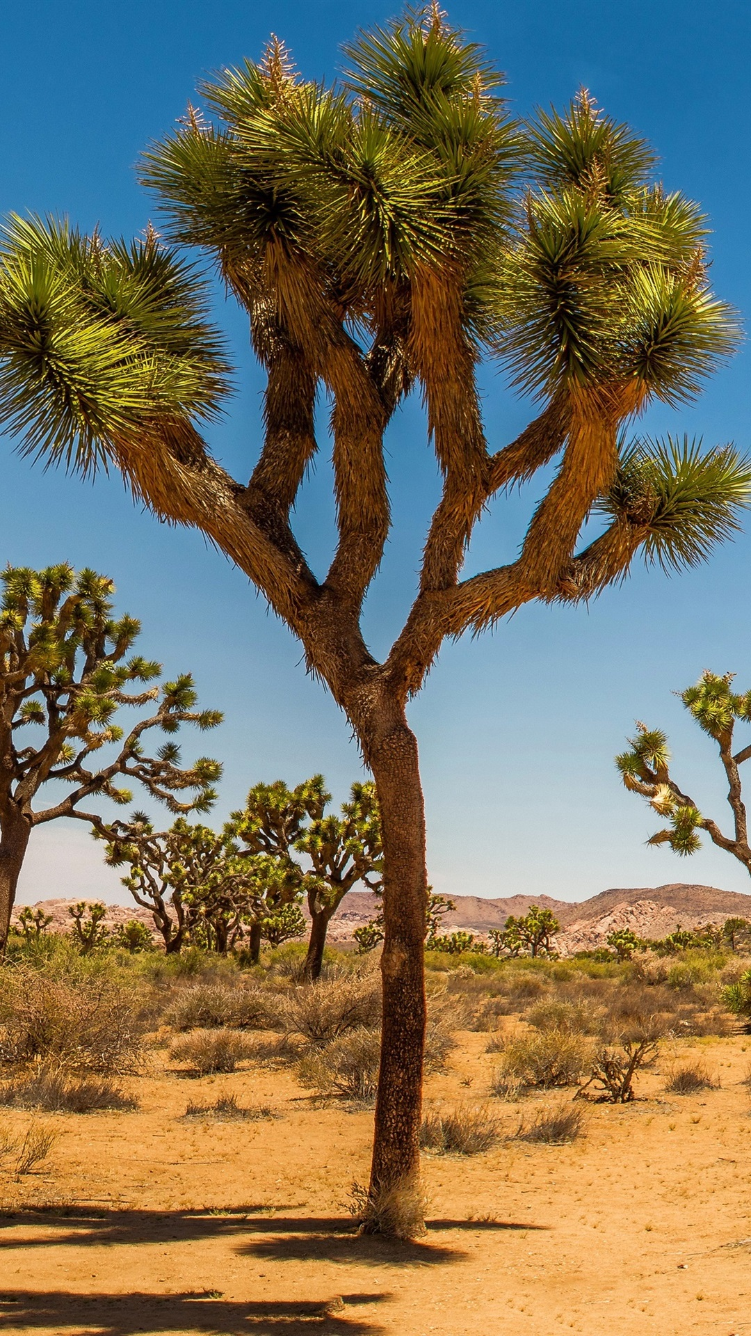 Joshua Tree National Park Usa Desert Shrub Trees Grass 1080x1920 Iphone 8 7 6 6s Plus Wallpaper Background Picture Image