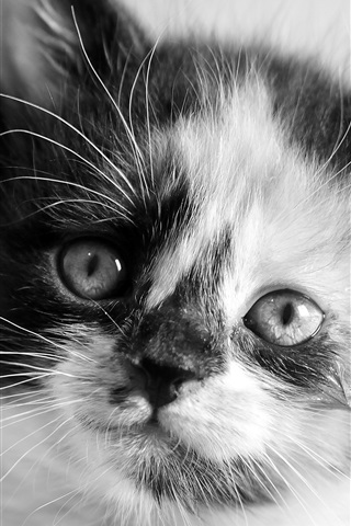 iPhone Wallpaper Kitten face close-up, white and black