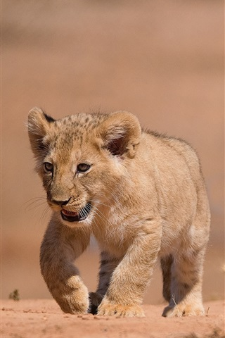 iPhone Wallpaper Lion cub walk