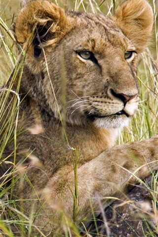 iPhone Wallpaper Lion in the grass, hunting