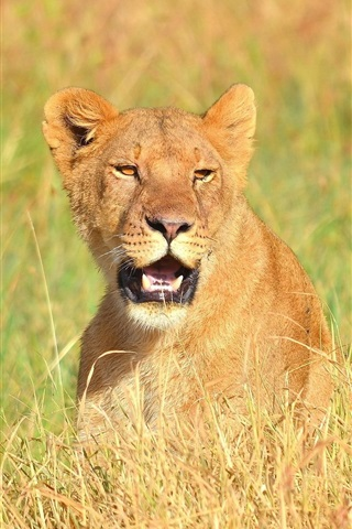 iPhone Wallpaper Lioness open mouth