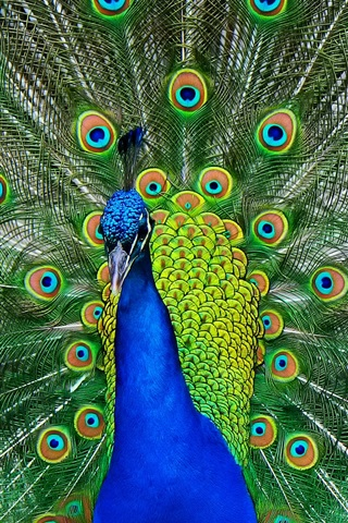 iPhone Wallpaper Peacock tail show, beautiful feathers
