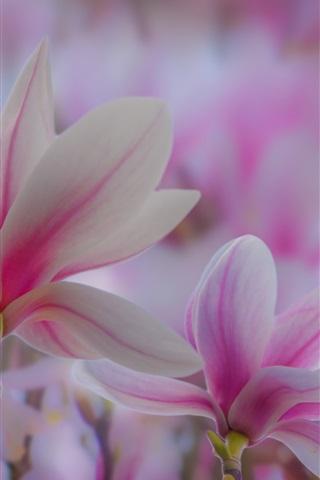iPhone Wallpaper Pink magnolia flowers, spring