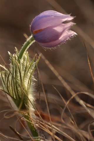 iPhone Papéis de Parede Flor roxa, grama, primavera