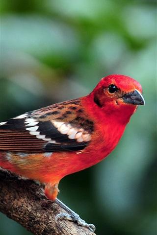 iPhone Wallpaper Red feather bird, branch, bokeh