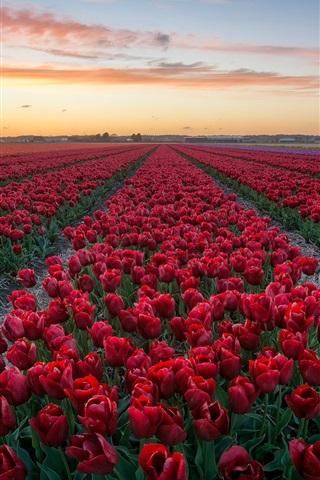 iPhone Wallpaper Red tulips, flowers field, dusk