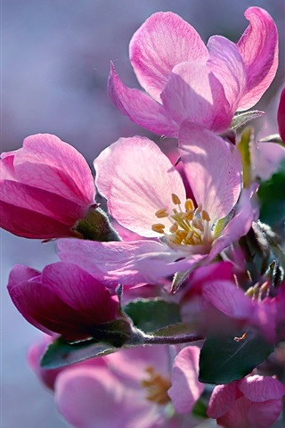 iPhone Wallpaper Spring, pink apple flowers bloom