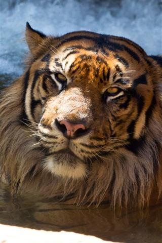 iPhone Wallpaper Sumatran tiger bathing in pond
