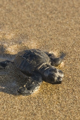 iPhone Wallpaper Turtle baby on the beach