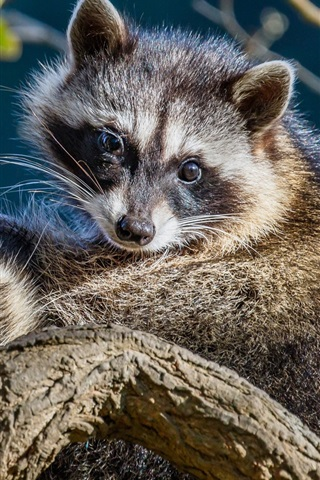 iPhone Wallpaper Two raccoons look at you
