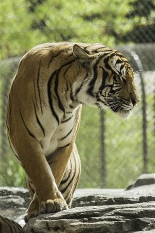 iPhone Wallpaper Two tigers, zoo, water splash