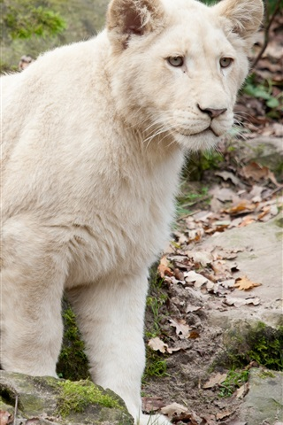 iPhone Wallpaper White lion cub