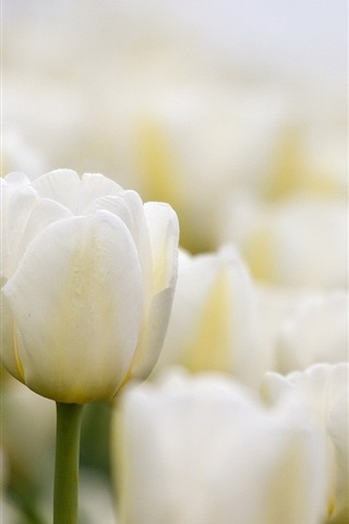 iPhone Wallpaper White tulips flowers close-up