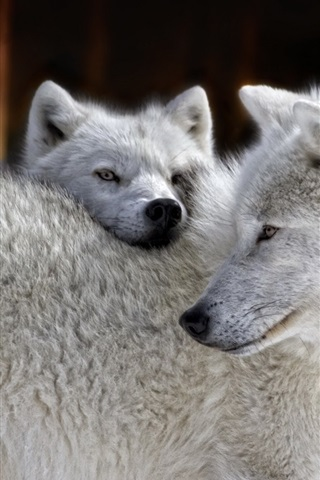 iPhone Wallpaper White wolves family