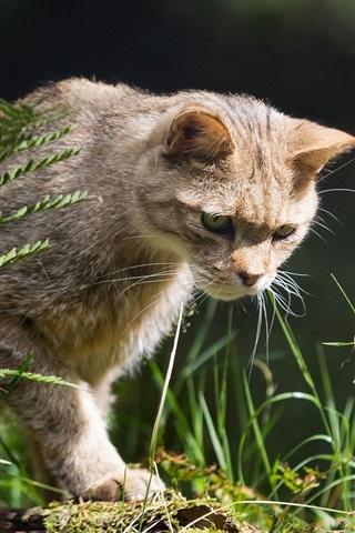 iPhone Wallpaper Wild cat, hunter, grass