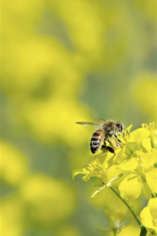 iPhone Wallpaper Yellow rapeseed flowers, bee, bokeh