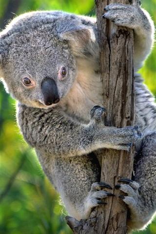 iPhone Wallpaper Australia, cute koala, marsupials