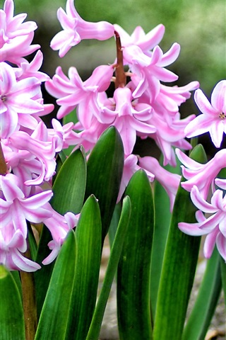 Beautiful Pink Hyacinths Leaves Flowers 750x1334 Iphone 8