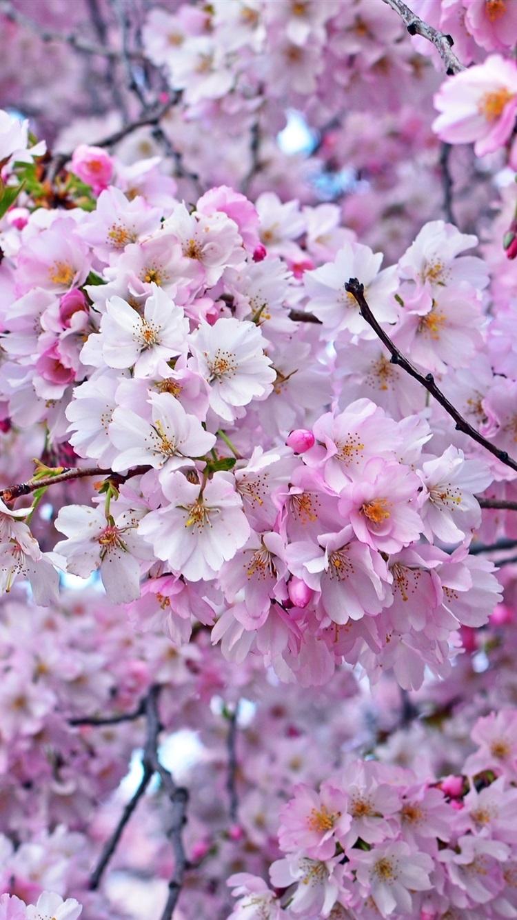 美しい桜 春 木 750x1334 Iphone 8 7 6 6s 壁紙 背景 画像