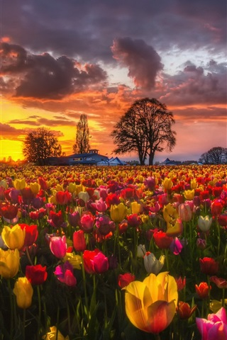 iPhone Wallpaper Beautiful tulip fields at sunset, houses, trees, clouds