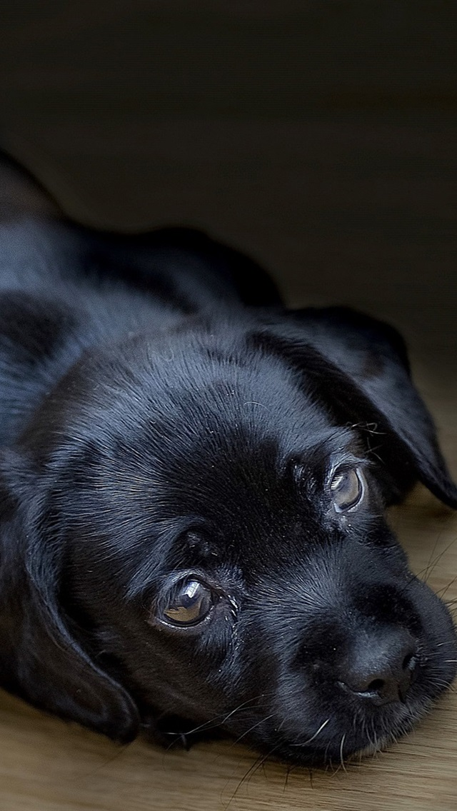 Black Puppy Sleep 640x1136 Iphone 5 5s 5c Se Wallpaper Background Picture Image