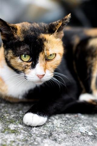 iPhone Wallpaper Cat rest, three colors