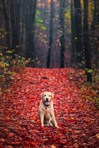 iPhone Wallpaper Dog in autumn, forest, red maple leaves ground