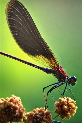 iPhone Wallpaper Dragonfly side view, green background