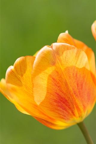 iPhone Wallpaper Flower close-up, orange tulips
