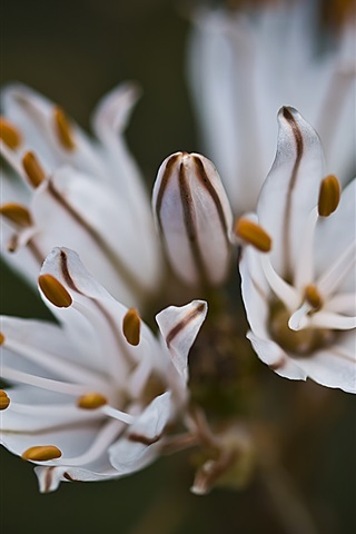 iPhone Wallpaper Flower macro photography, white petals, stamens