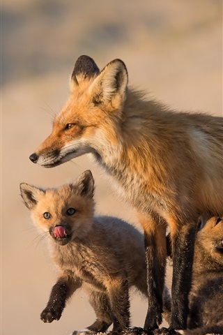 iPhone Wallpaper Foxes, family, mom and cubs