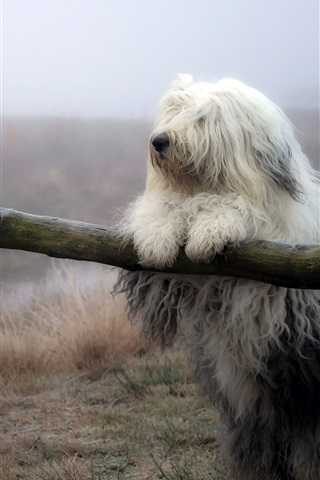iPhone Wallpaper Furry white dog, fence, grass, nature