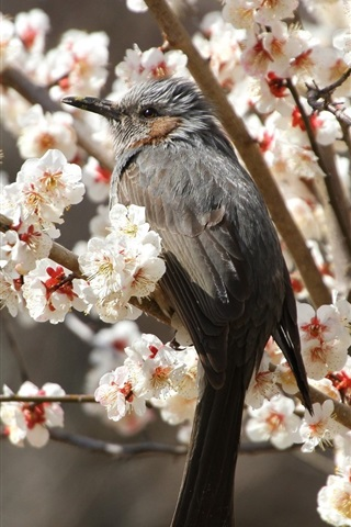 iPhone Wallpaper Gray bird, flowers tree