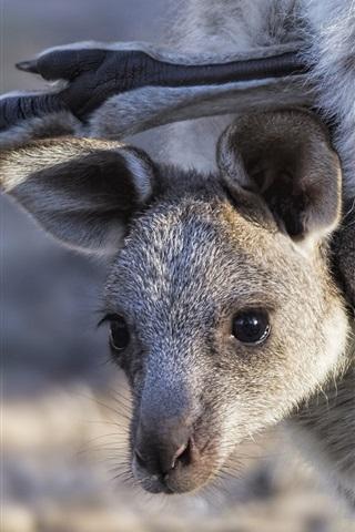 iPhone Wallpaper Kangaroo, cub, face, bag