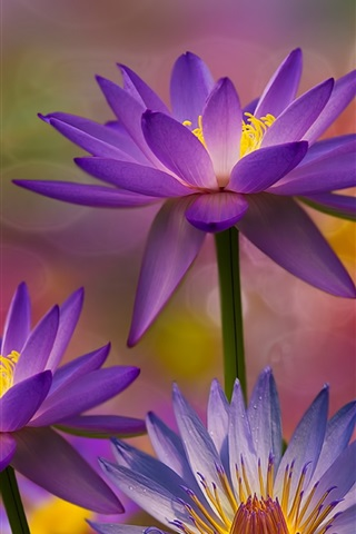 iPhone Wallpaper Many water lilies, flowers macro photography