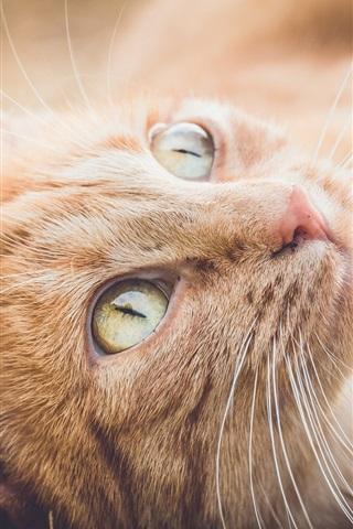 iPhone Wallpaper Orange cat rest, look up