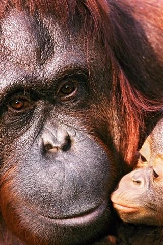 iPhone Wallpaper Orangutan female and baby
