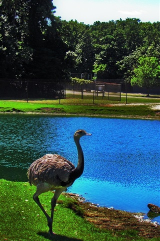 iPhone Wallpaper Ostrich, pond, zoo
