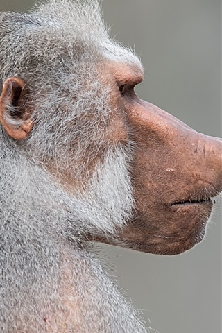 iPhone Wallpaper Pavian monkey