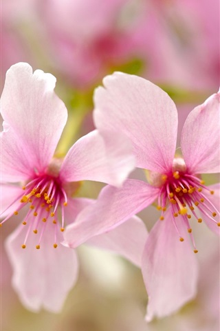 iPhone Wallpaper Pink petals flowers close-up, bokeh, spring