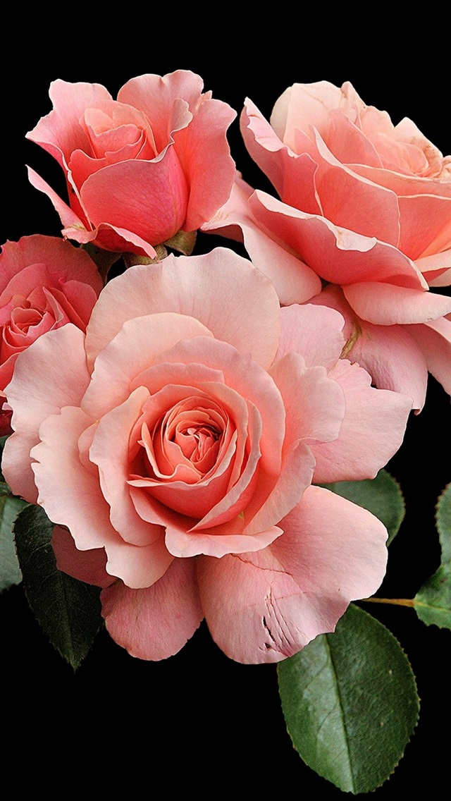 Pink Roses Black Background 750x1334 Iphone 8 7 6 6s Wallpaper Background Picture Image