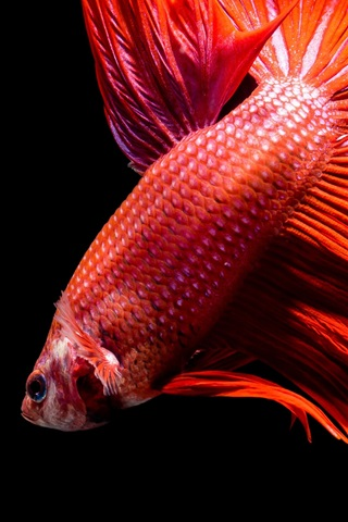 iPhone Wallpaper Red fish, black background