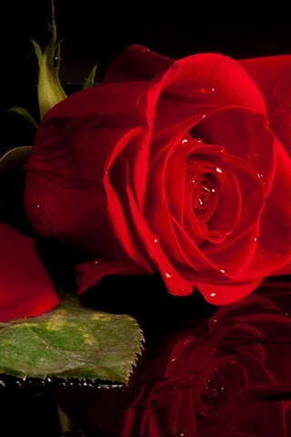 iPhone Wallpaper Red rose, black background, mirror