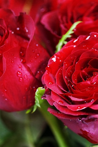iPhone Wallpaper Red roses, dew, flowers