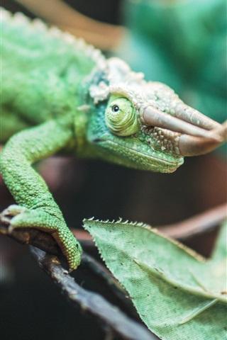 iPhone Wallpaper Reptile, chameleon, horns