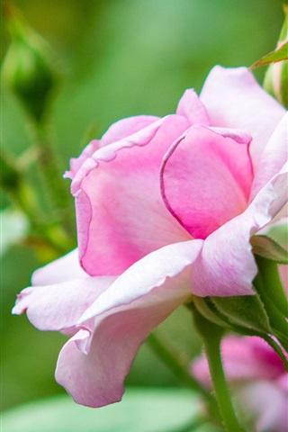 iPhone Wallpaper Rose flowering, pink flowers, spring