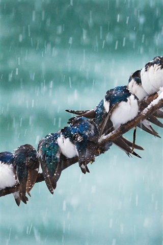 iPhone Wallpaper Swallow, birds, tree branch, snow