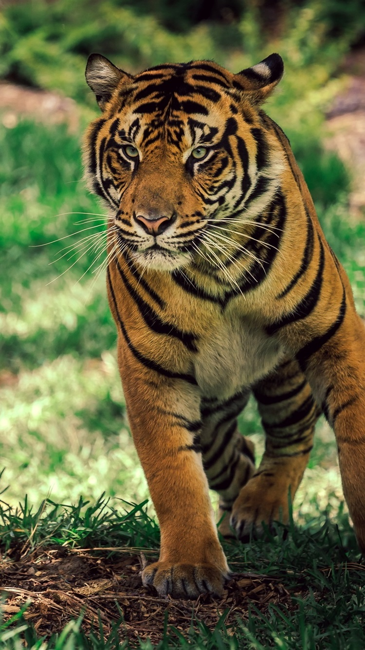 Tiger Under Tree Grass 750x1334 Iphone 8766s Wallpaper