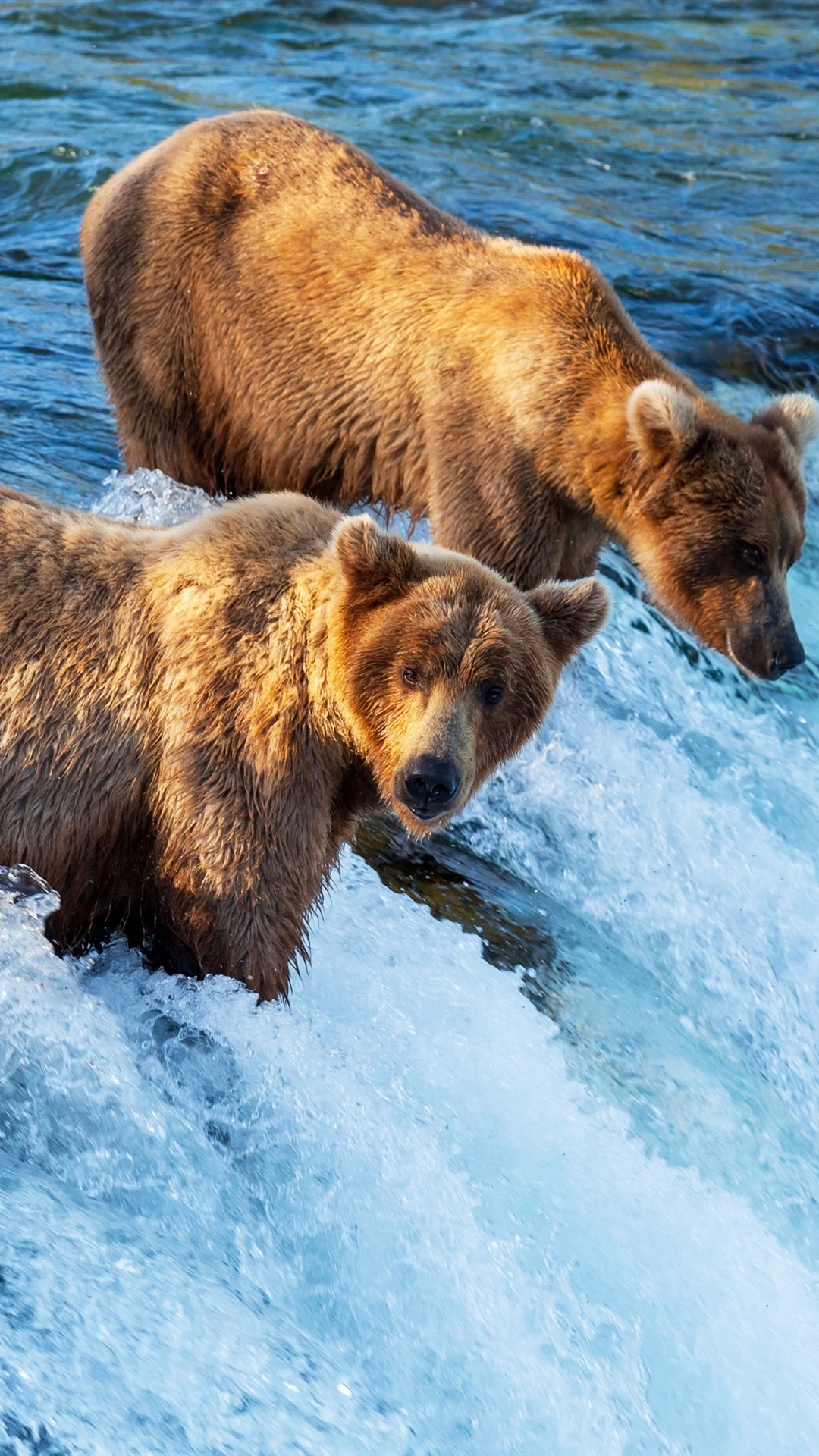 Two Brown Bears Hunting Fish Waterfall River 1080x1920 Iphone 8 7 6 6s Plus Wallpaper Background Picture Image